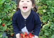 딸기 수확